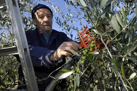 raccolta-olive-franci