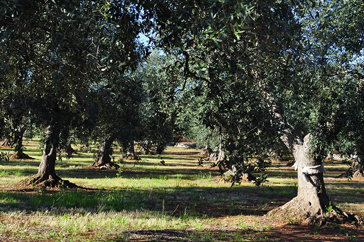 Olivi dell'Azienda Intini