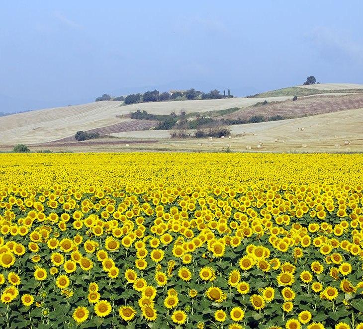 Un campo di girasoli