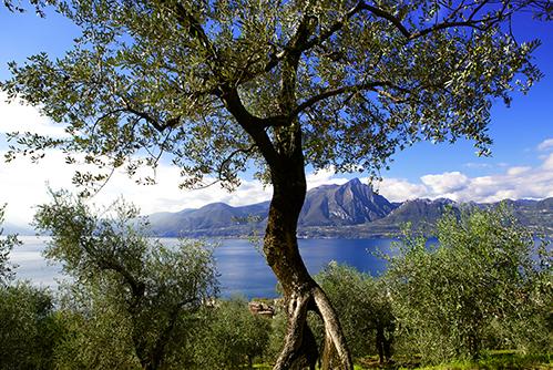 Scorcio degli oliveti di Paolo Bonomelli sul Lago di Garda