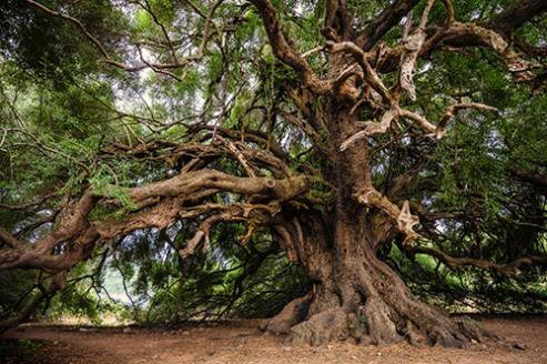 Albero di olive secolare