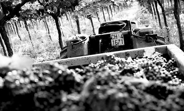 Il lavoro nei vigneti dell'azienda vinicola abruzzese Tollo