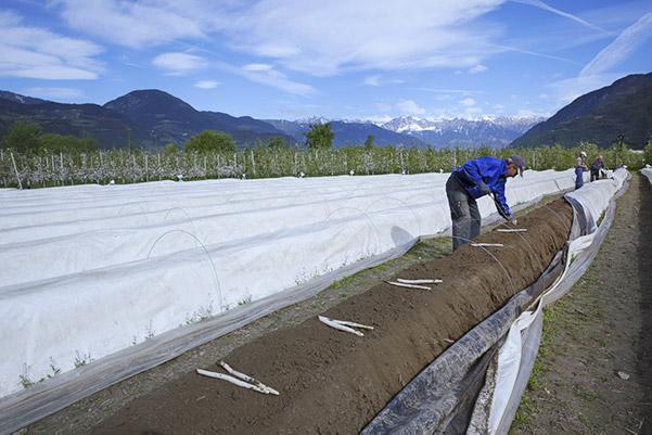 Gli agricoltori che raccolgono gli Asparagi Margarete di Terlano