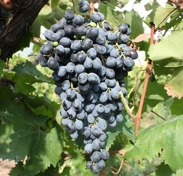 L'uva del vitigno Camaiola